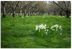 Daffodils and Walnuts