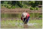 Planting Rice III