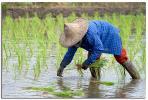 Planting Rice IV