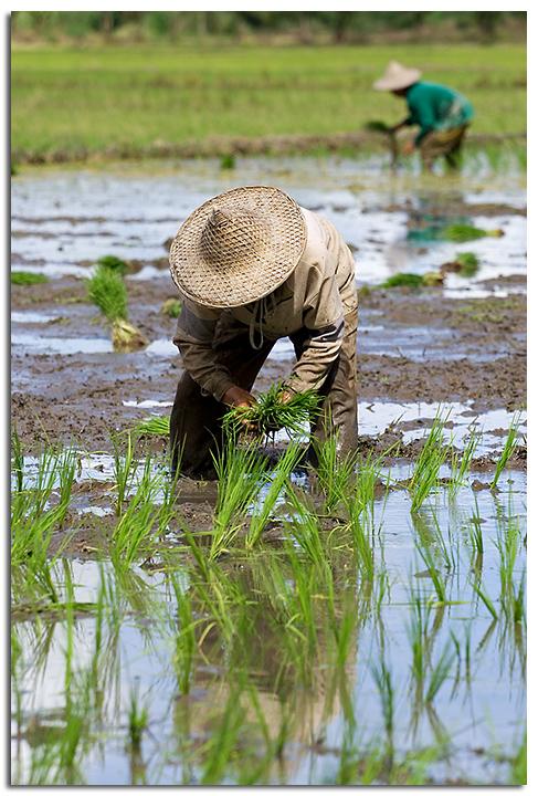 Planting Rice I